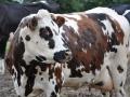 A. LECERF - Vache normande au pré