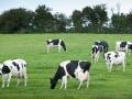 C. HELSLY - CNIEL - Vaches au pré