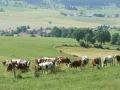 F. JOLY - CNIEL - Paysage et vaches Montbéliarde